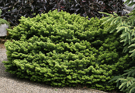 Abies balsamea 'Nana'