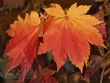 Autumn foliage of Acer japonicum Vitifolium 