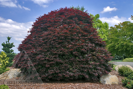 Acer palmatum 'Rhode Island Red'
