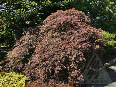 Acer palmatum dissectum 'Crimson Queen'