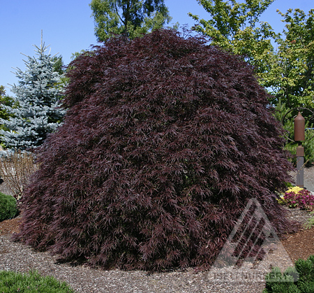 Acer palmatum dissectum 'Red Dragon'