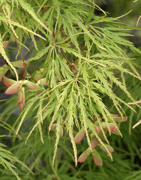 Acer palmatum dissectum 'Viridis'