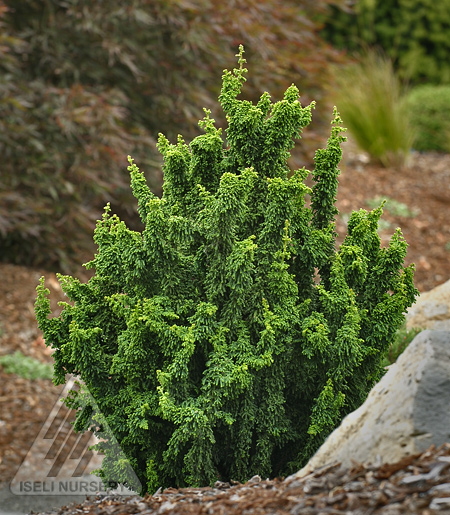Chamaecyparis obtusa 'Chirimen'