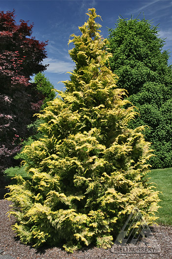 Chamaecyparis obtusa Goldilocks