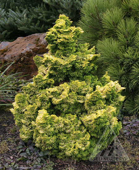 Chamaecyparis obtusa 'Nana Lutea'