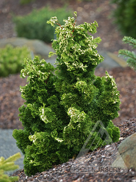 Chamaecyparis obtusa 'Snowkist'