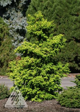 Chamaecyparis obtusa Sunny Swirl