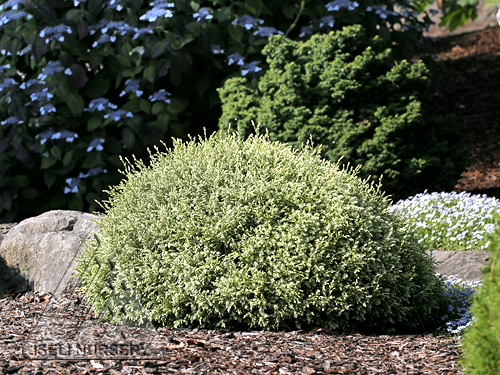 Chamaecyparis pisifera 'Fairy Puff'