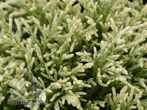 Chamaecyparis pisifera 'White Pygmy'