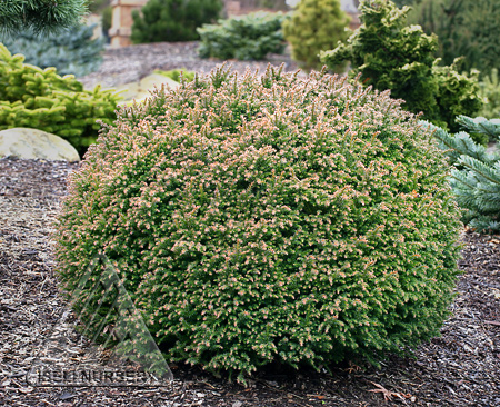 Cryptomeria japonica 'Hino' - winter color
