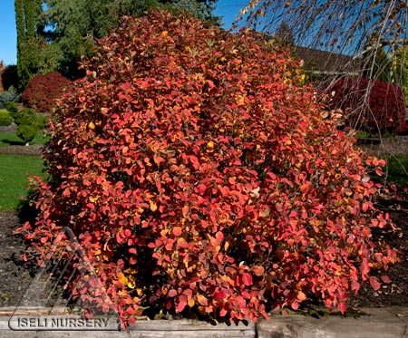Fall Color - Fothergilla gardenii