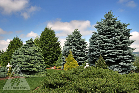 Conifer Garden