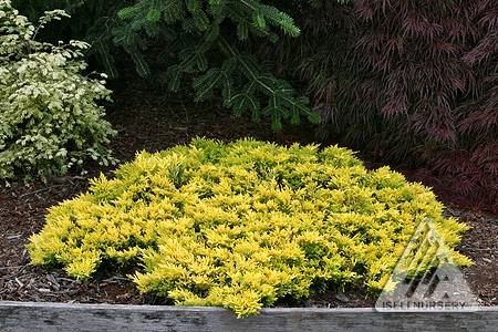 Juniperus horizontalis 'Gold Strike'