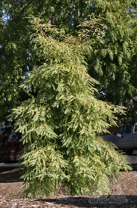 Metasequoia glyptostroboides Miss Grace