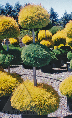 Multiple conifers in one plant construct
