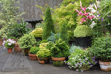 A simple Patio Garden using dwarf conifers and other exciting plants.