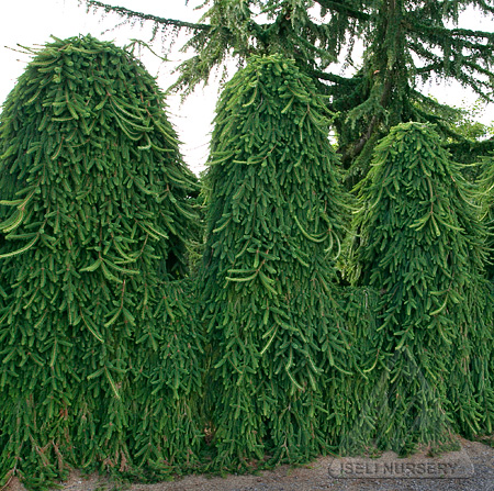 Picea abies 'Pendula'