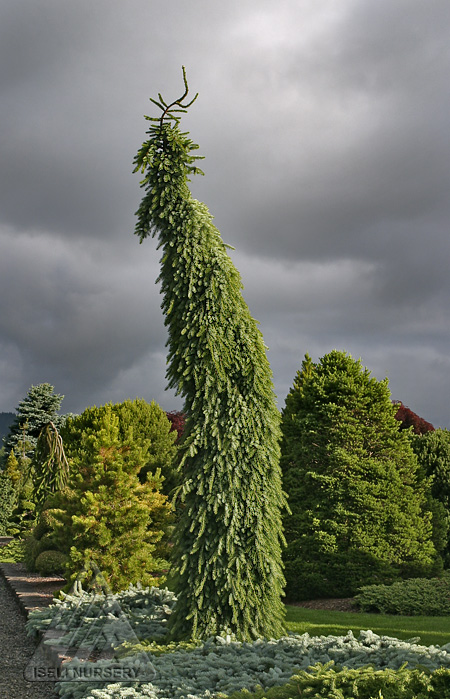 Picea omorika 'Pendula Bruns'
