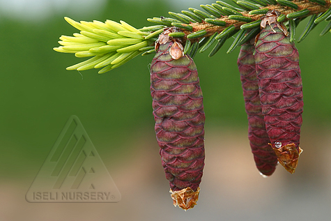 Picea orientalis Aureospicata