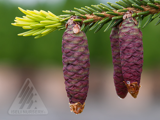 Picea orientalis 'Aureospicata'