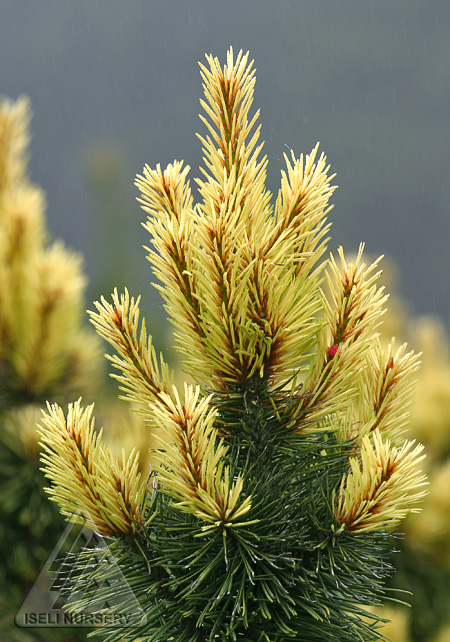Pinus contorta 'Taylor's Sunburst'