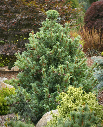 Pinus parviflora 'Bergman'