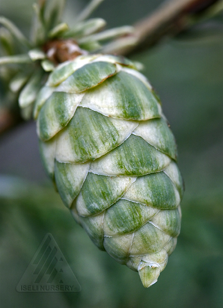 Tsuga canadensis 'Albospica' - cone