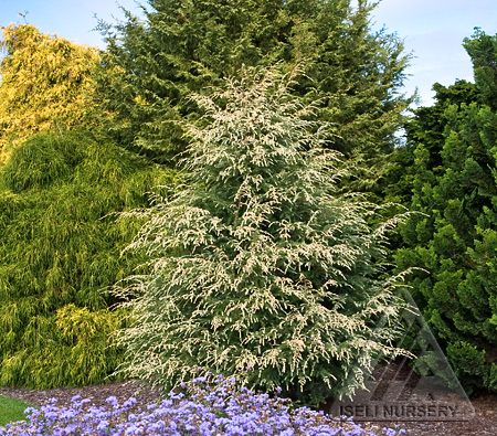 Tsuga canadensis 'Summer Snow'