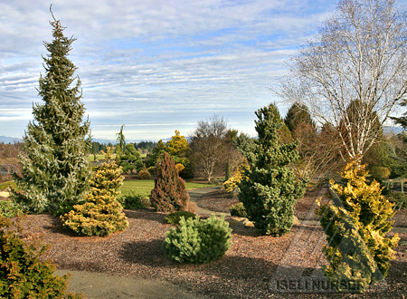 The Sunny Conifer Garden