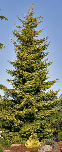 Picea orientalis Skylands and one of its offspring