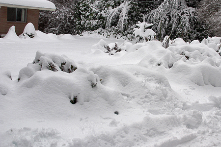 Conifers and other exciting garden plants under a blanket of snow.