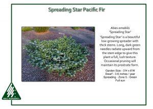 Abies amabilis 'Spreading Star'