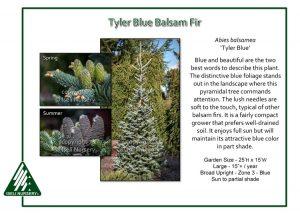 Abies balsamea 'Tyler Blue'