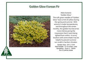 Abies koreana 'Golden Glow'