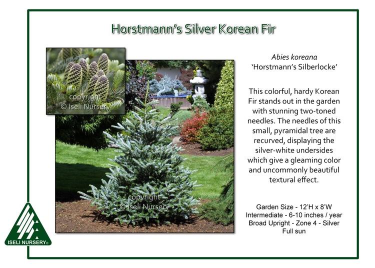 Abies koreana 'Horstmann's Silberlocke'