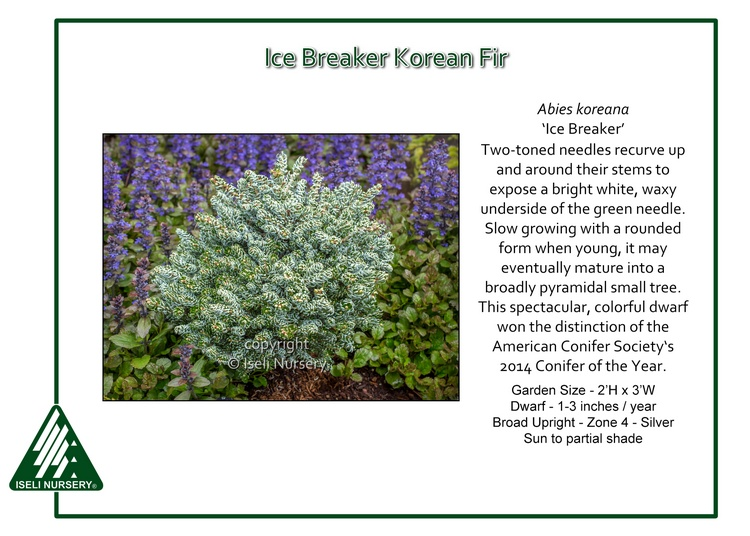 Abies koreana 'Ice Breaker'