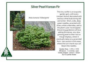 Abies koreana 'Silberperle'