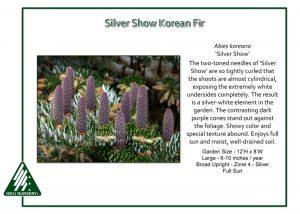 Abies koreana 'Silver Show'