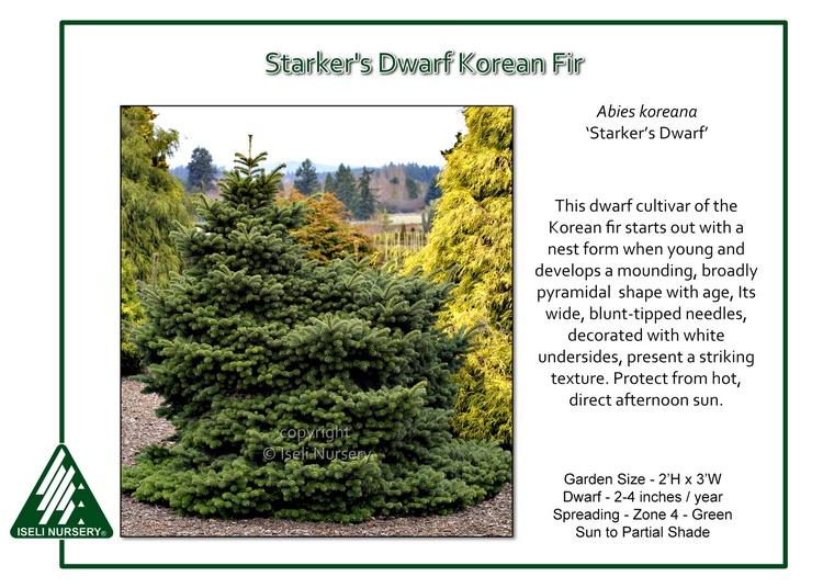 Abies koreana 'Starker's Dwarf'