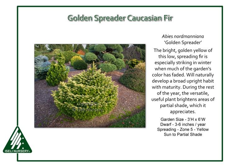Abies nordmanniana 'Golden Spreader'