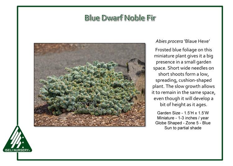 Abies procera 'Blaue Hexe'