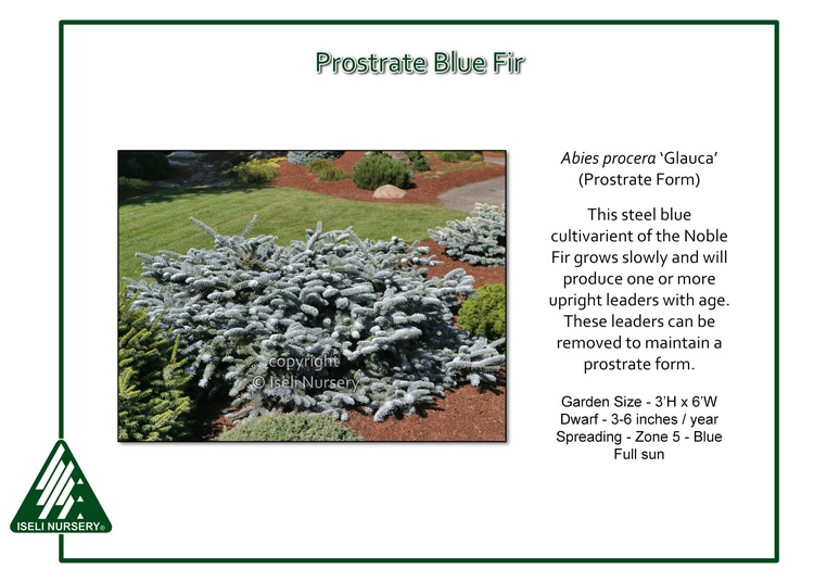 Abies procera 'Glauca' (Prostrate Form)