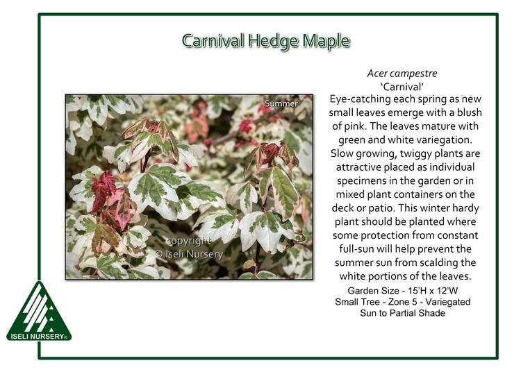 Acer campestre 'Carnival'