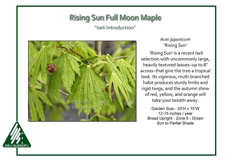 Acer aponicum 'Rising Sun'