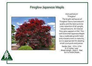Acer palmatum 'Fireglow'