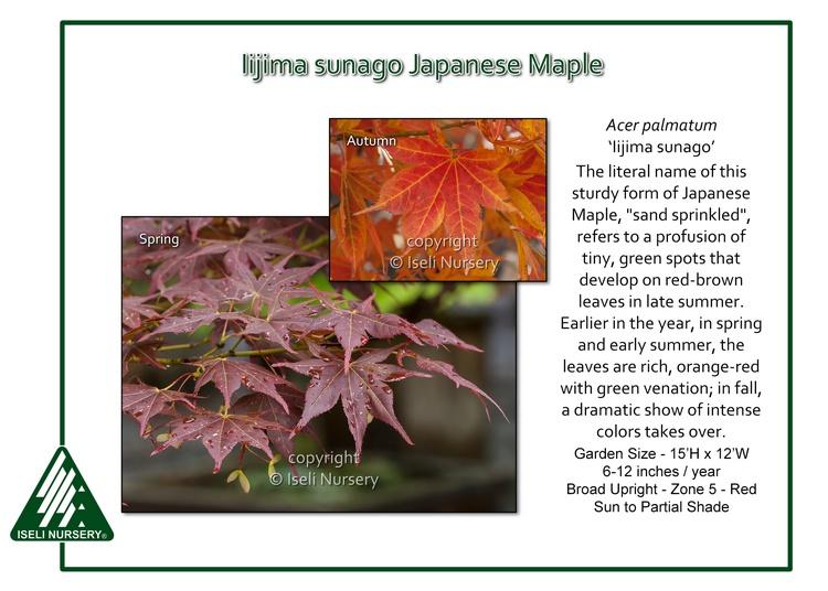 Acer palmatum 'Iijima sunago'
