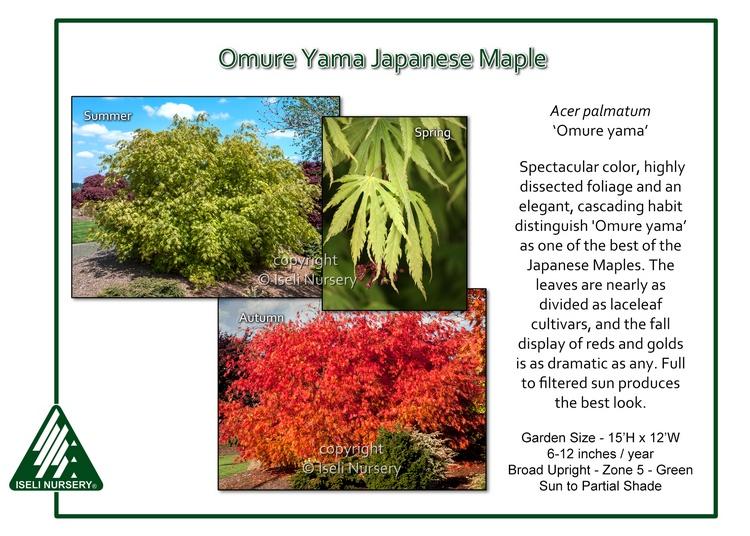 Acer palmatum 'Omure Yama'