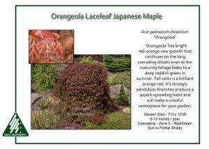 Acer palmatum 'Orangeola'
