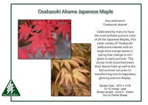 Acer palmatum 'Osakazuki Akame'