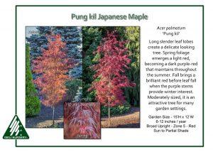 Acer palmatum 'Pung Kil'